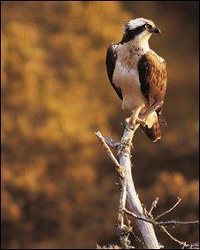 Osprey Pandion haliaetus - Chris Gomersall (rspb-images.com)
