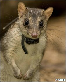 Quoll with radio collar