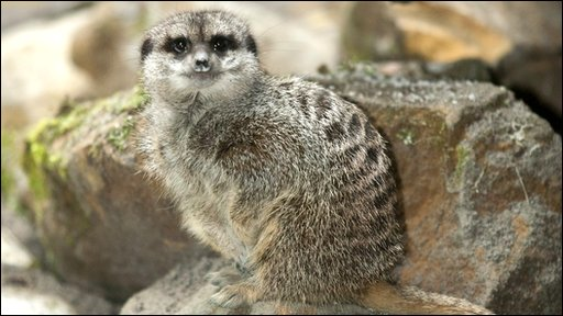 Lilly the Meerkat - Twinlakes Familt Theme Park in Leicestershire