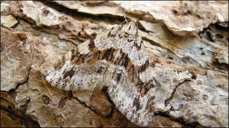 Barred Tooth-striped moth