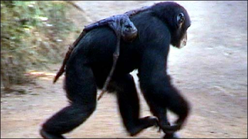 An adult female chimpanzee carries the mummified remains of her infant (Biro et al)