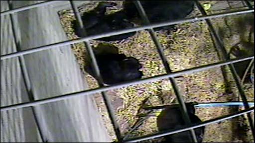 Chimpanzees gather around a dying female