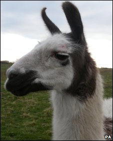 Willy the llama