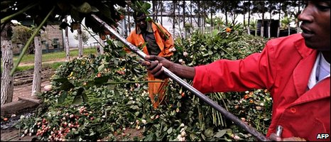 Farm workers use pitch forks to load a truck with discarded fresh roses at a flower exporter's farm in Naivasha, Kenya [19 April 2010]