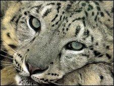 Snow leopard, file pic