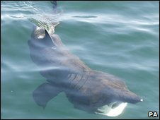 Basking shark seen off the west coast of Scotland