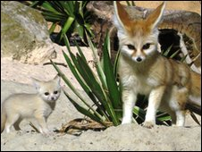 Fennec Fox cub with mother Mali at Drusillas Park Zoo, East Sussex