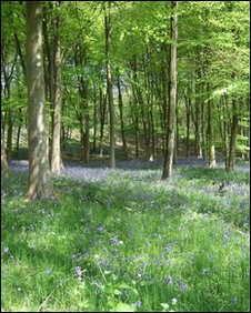 Bluebells at Wytham Woods