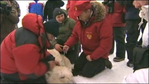 Prime Minister Putin fixes a satellite colar to a polar bear