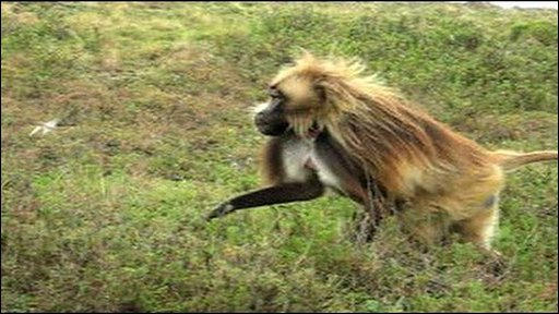 Gelada chases locust 