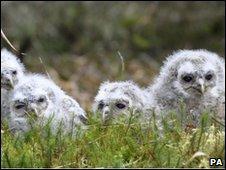 Baby tawny owls