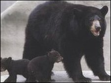 A Black bear and two cubs - file image