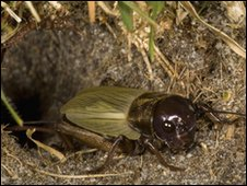 Field cricket emerging from burrow