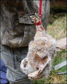 Tawny owl chick