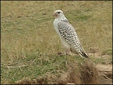 Gyrfalcon at a rabbit burrow at Ness on Lewis