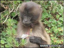 Juvenile gelada eating