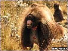 Gelada 'face-pulling'