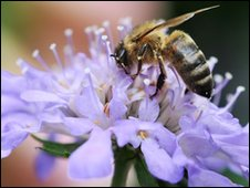Generic pic of a honey bee feeding on nectar from a flower