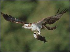 Bassenthwaite osprey