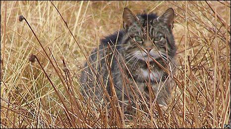 Peter Harris's photograph of the wildcat