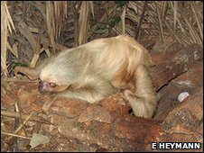 Two-toed sloth on the ground in Amazon rainforest, Peru