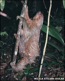 A two-toed sloth heads for the trees after visiting a human toilet in the Amazon rainforest in Peru