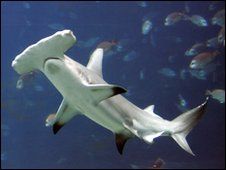 Hammerhead shark by AP