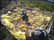 Bassenthwaite ospreys