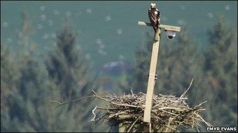 An osprey on a nest at Cors Dyfi