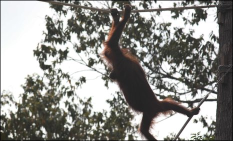 Orang-utan using one of the new rope bridges (Pic: Ajiran Osman)