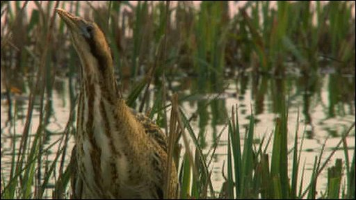 Bittern filmed at Minsmere nature reserve in Suffolk