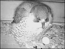 Webcam image of a peregrine falcon and egg