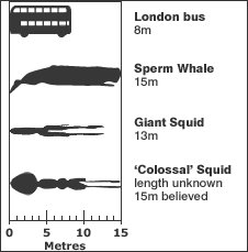 Graphic of squid sizes. Image: BBC