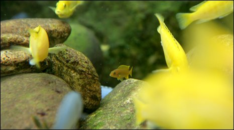 Lake Malawi cichlids at Bristol's Blue Reef Aquarium