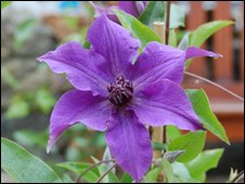 Girl Guides clematis