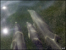 Dolphins underneath an oil-covered sea off the Chandeleur Islands (6 May 2010)