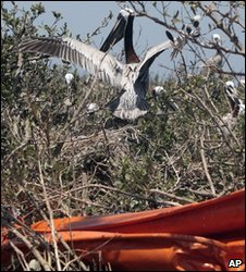 A pelican nests near a tangled boom on one of Chandeleur Islands