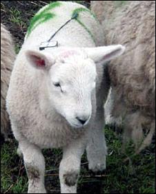 Radio tagged lamb. Image: SNH/FERA