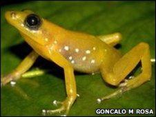 Male B. angolafa frog