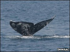 Tail fluke of gray whale sighted off Herzliya Marina