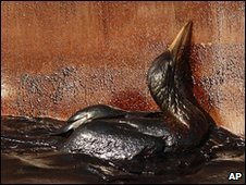Seabird soaked in oil near the site of the rig