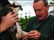 Ranger ringing osprey