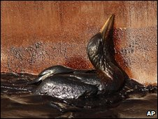 An oil-soaked bird struggles against the side of a ship in Gulf of Mexico