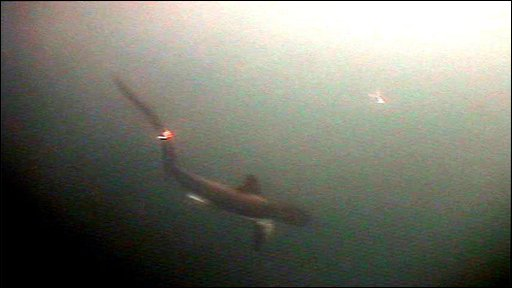 Thresher shark (image courtesy of Pfleger Institute of Environmental Research)