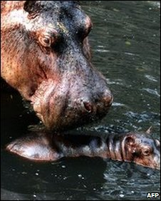 Hippos in an Indian zoo