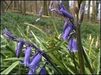 Bluebells at West Woods near Lockeridge