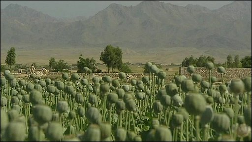 Poppies in Afghanistan