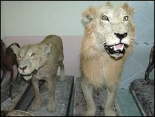 Stuffed lions - Maya (left) and Ranga