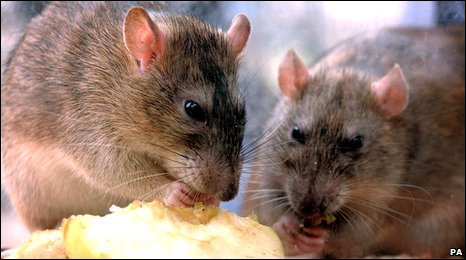 Rats nibbling on discarded food
