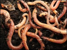 Tiger earthworms